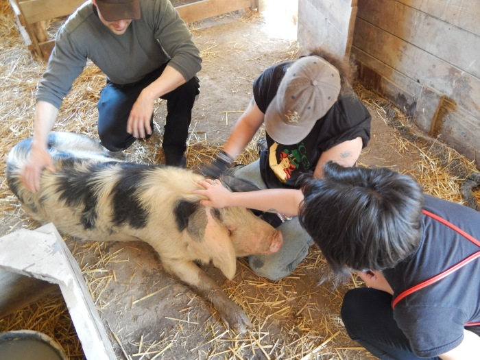 catskill-animal-sanctuary-saugerties-pigs